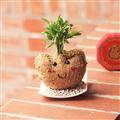 【迎光生技】金元寶寶苔球 (4712176824248)